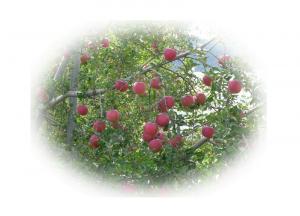 081027リンゴ