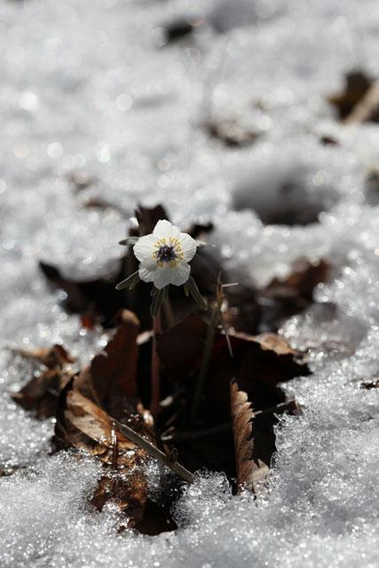 雪の間から