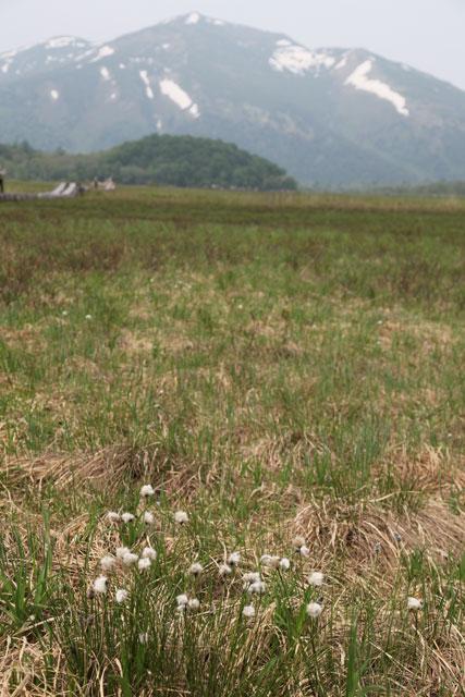 ワタスゲと至仏山