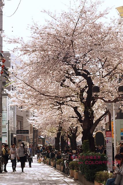 自由が丘の桜並木