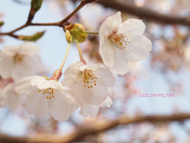 鶴岡八幡宮さくらの花