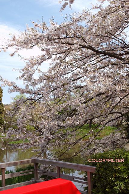 鶴岡八幡宮SAKURA咲く02