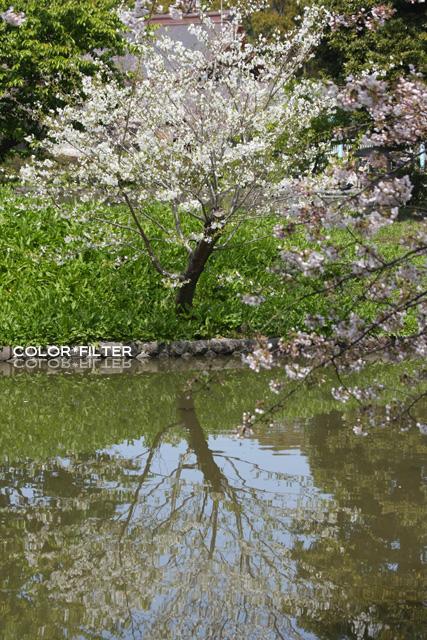 池に映る桜
