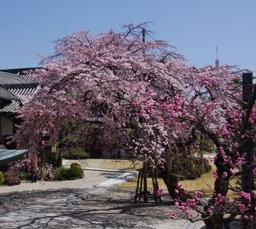 嬉しい枝垂れ桜