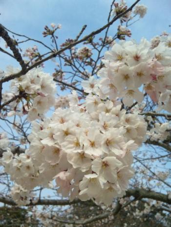 2011桜