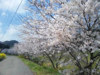 2011 花見③
