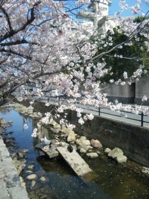 2011長府の桜