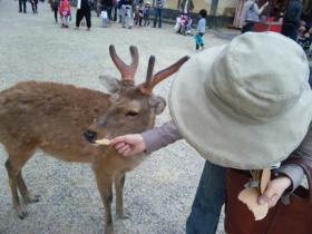 2011旅行 奈良 鹿②