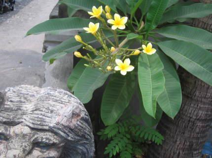 今日のバリ島 プルメリアのお花