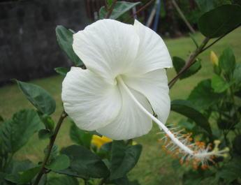 バリ島のハイビスカス