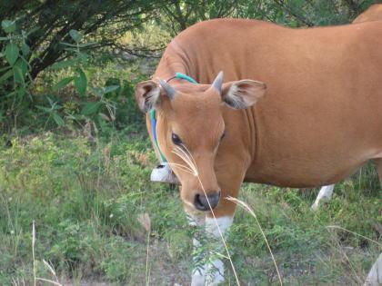 モーモー バリ島の牛さん!