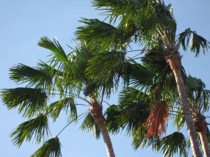 椰子の木!