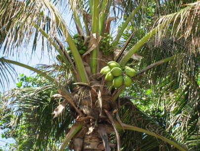 バリ島 椰子の木 今日もお疲れ様でした!