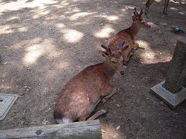 奈良 鹿①