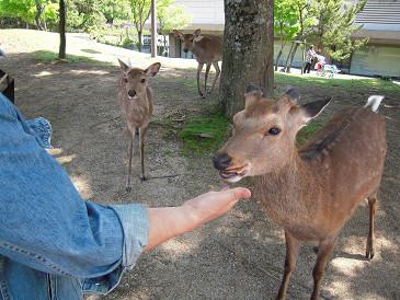 奈良 鹿④