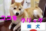 柴犬ズンバナー1015