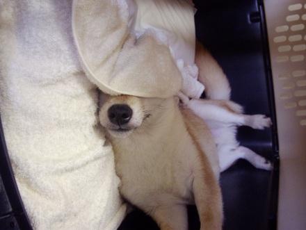柴犬ブログ ズン画像 なしてなん?