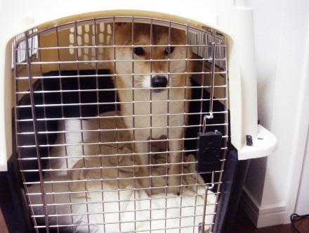 柴犬 ブログ ズン画像