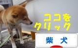 柴犬ブログ ズンバナー1022
