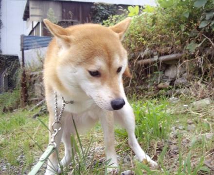 柴犬ブログ ズン画像 ふんぬぅ