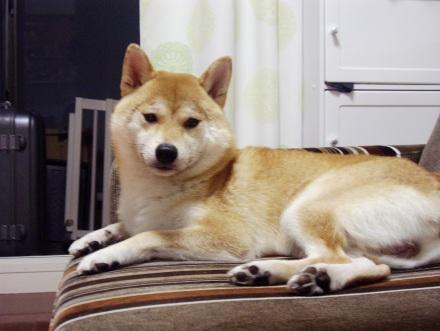 柴犬ブログ ズン画像 疲れたのです