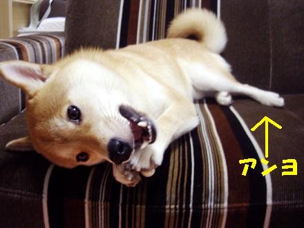 柴犬ブログ ズン画像 アンヨ
