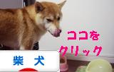 柴犬ブログバナー1103