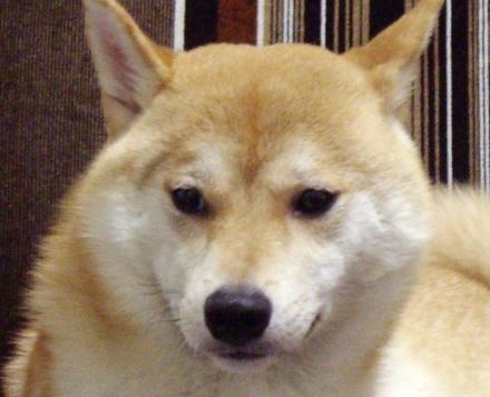 柴犬ブログランキング 1104のズンは何位かな?