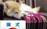 柴犬ブログ ズンバナー 1105