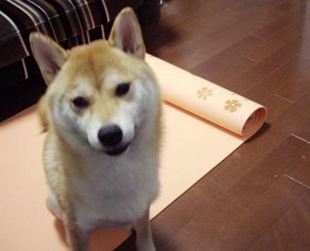柴犬ブログ ズン画像 はやく~