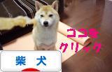柴犬ブログ ズンバナー 1106