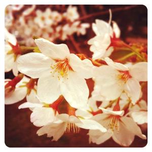 桜が咲いてた