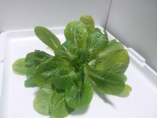 2011.02.10 白菜収穫2