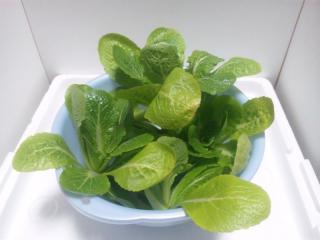 2011.02.10 白菜収穫1