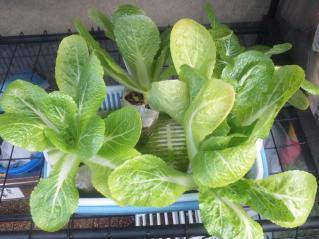 2011.02.11白菜の収穫後