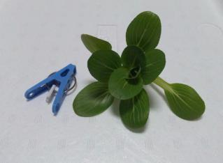 2011.02.11 チンゲンサイ(収穫)
