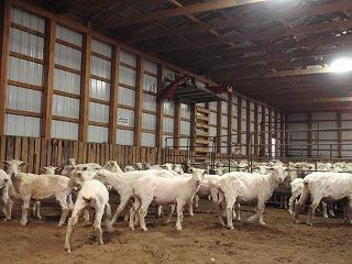 羊の毛刈り5