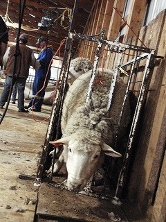 羊の毛刈り2