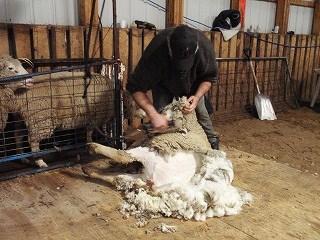 羊の毛刈り4