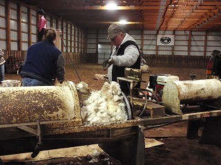 羊の毛刈り6