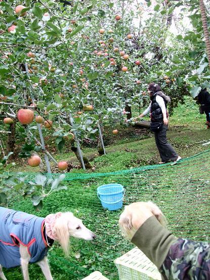 小布施と林檎狩り6