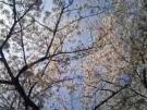 桜には青空が良く似合う。