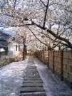 桜絨毯みたい!!