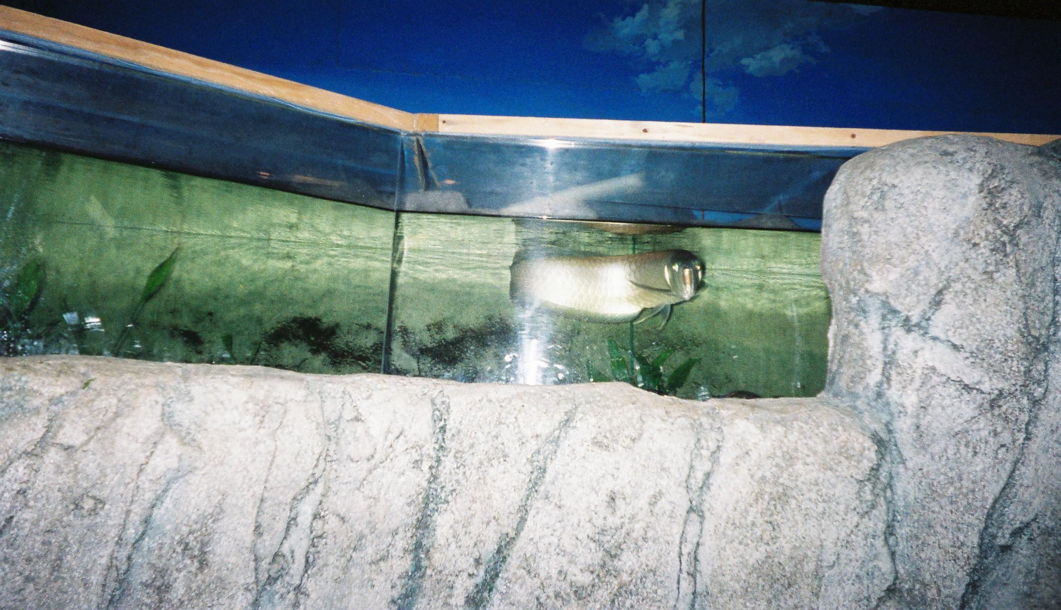 板橋区立淡水魚水族館arowana