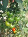 フルーツトマト2