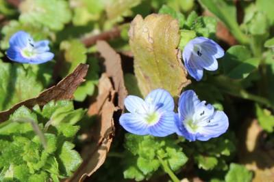 春を感じるあおい花