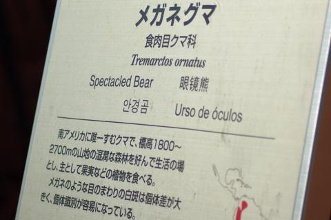 食肉目クマ科_メガネグマ