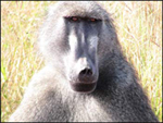 baboon-pictures.jpg
