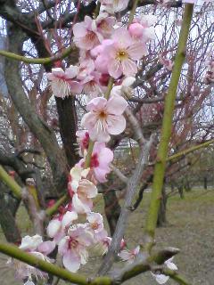 大阪城 梅の花