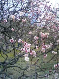 大阪城 梅の花2